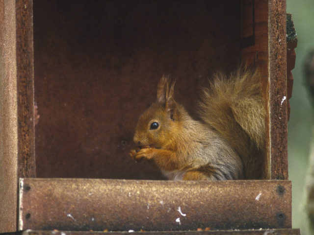 Enjoy a walk in the heart of the Cairngorms and Speyside keeping your eyes peeled for Red Squirrels image
