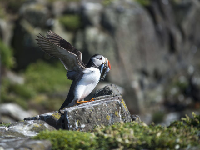 Explore the Fife Coastal Trail and enjoy a half day visit to the Isle of May, offering a magical mix of seals and seabirds image